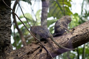 "These little guys were also pretty cute, mostly because they were so tiny, about the size of rats. Hence the new nickname, ""Rat Monkeys."""