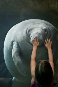 Children almost always make animal pictures better. This is the coveted manatee, the gentle giant of the deep.