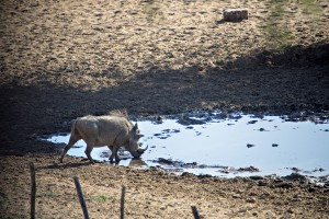 This is Namibia's version of a feeder. This warthog was shot so quickly after I took the photo I actually looked in the frame for a bullet.
